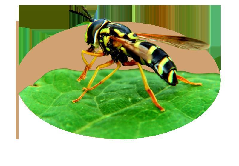 Professionel hvepse bekæmpelse